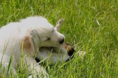 spielende-hunde